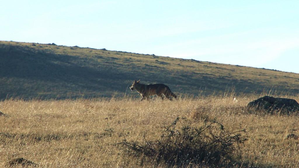 Wölfe zum Frühstück – Blick durch die Frontscheibe gegen das Licht