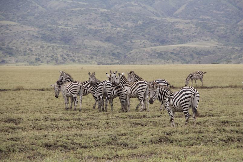 Zebras in der Naehe des Ngorongoro Kraters, Serengeti, Tansania