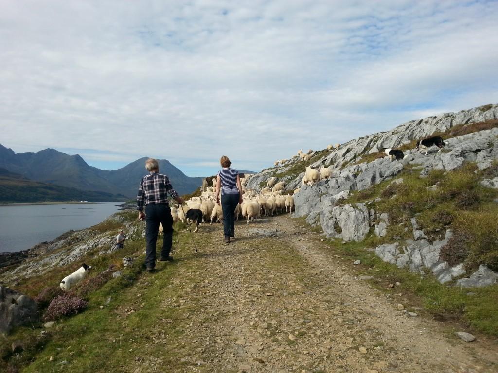 Viele hundert Schafspopos