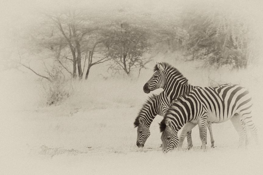 Dreiköpfiges Zebra, Caprivi, Botswana
