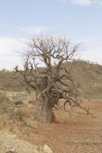 Unser erster Baobab-Baum bei Lalibela, Äthiopien