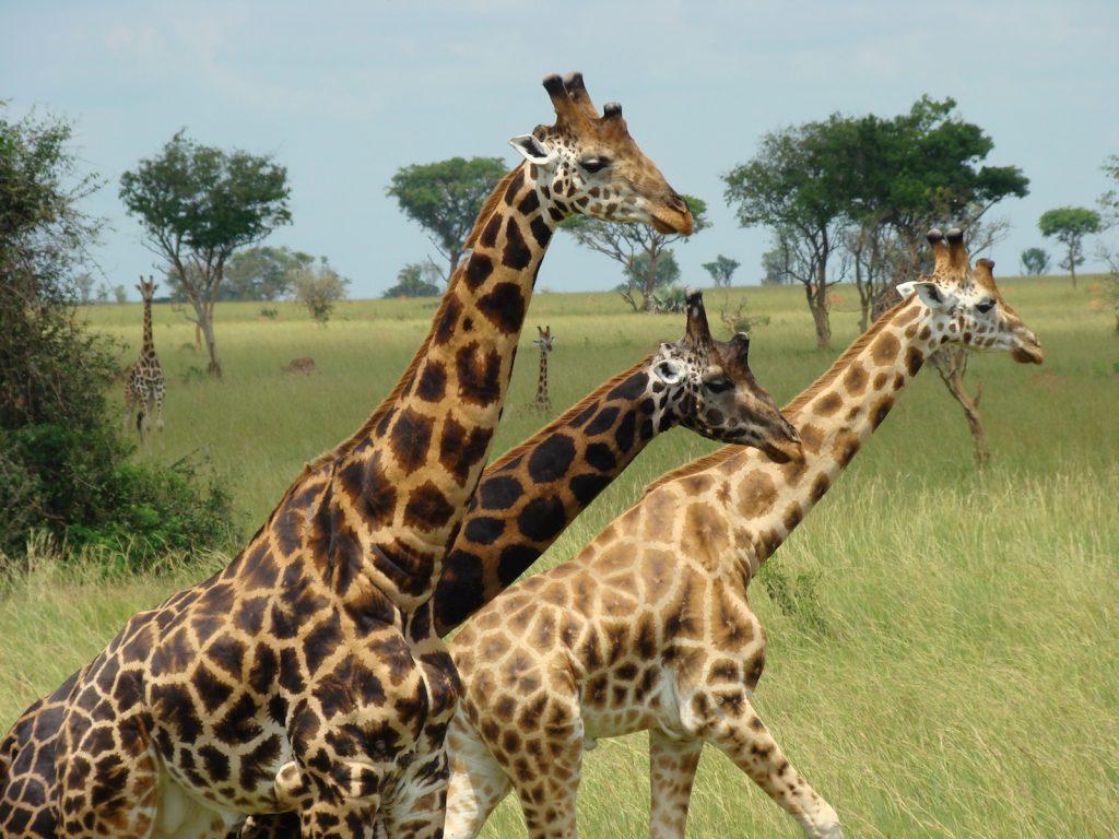 August der Reisewagen Warum Afrika? Unter anderem deshalb: Giraffen in Uganda
