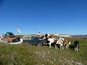 Die Kühe finden unsere Serie toll, Ostalpen