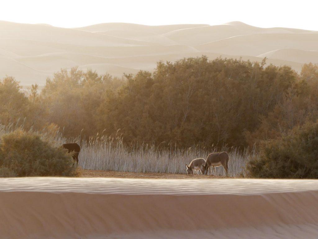 Esel am verlorenen See, Tunesien Sahara Extrem