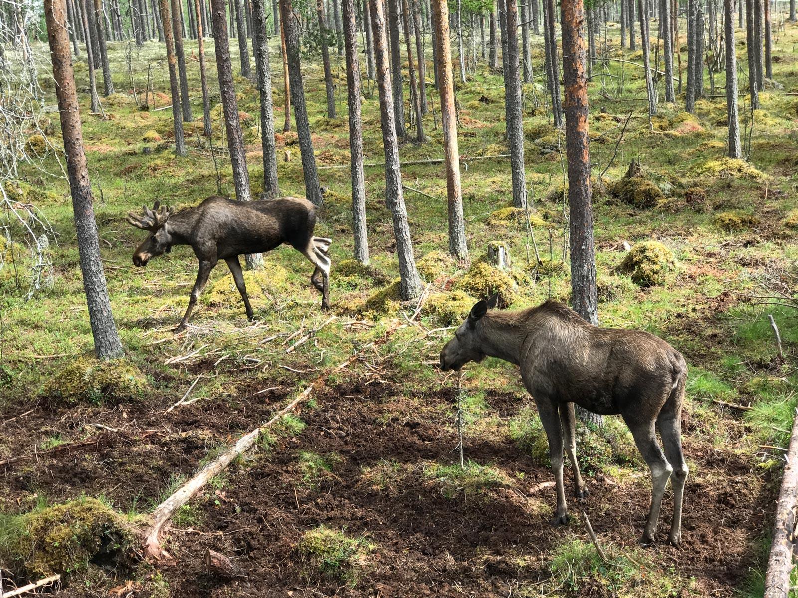 Elche im Elchpark bei Särna