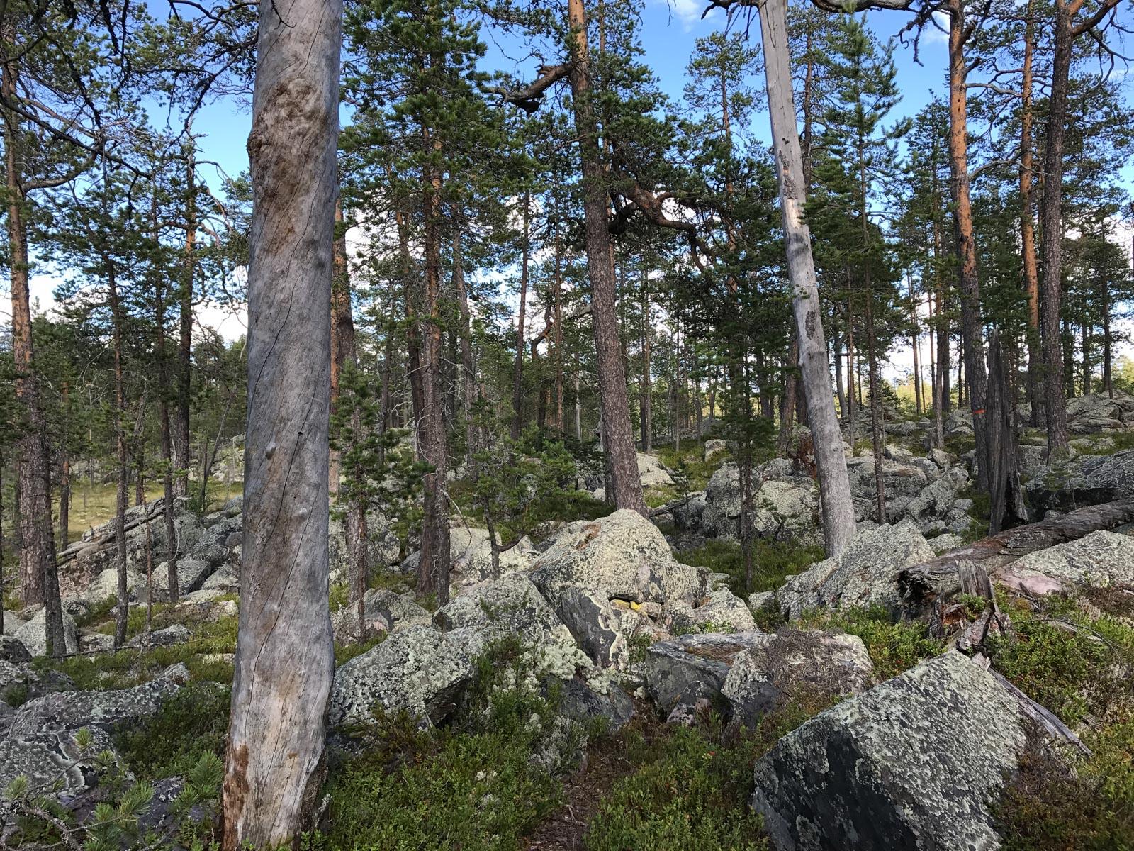 Moor, Steine, Bäume. Typisch Schweden.
