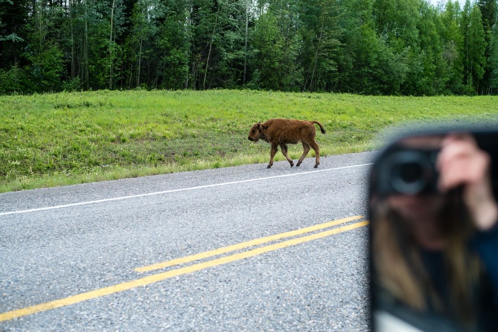 The Sunnyside 2017 - Alaska Highway 06 - Entspannte Büffel kreuzen den Alaska Highway.