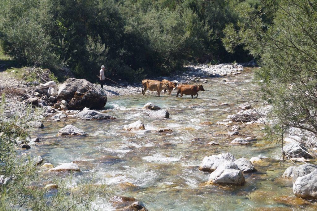Offroad in Albanien - Ein einheimischer Bauer und seine Tiere auf dem Weg zur Arbeit.