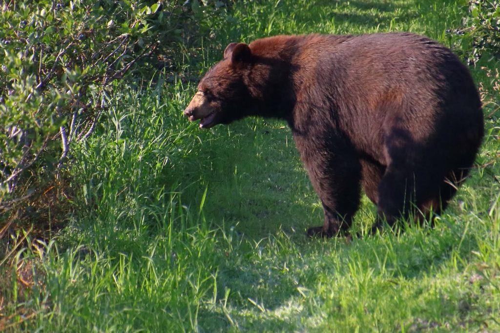 Reisen in Nordamerika - Schwarzbär hautnah.