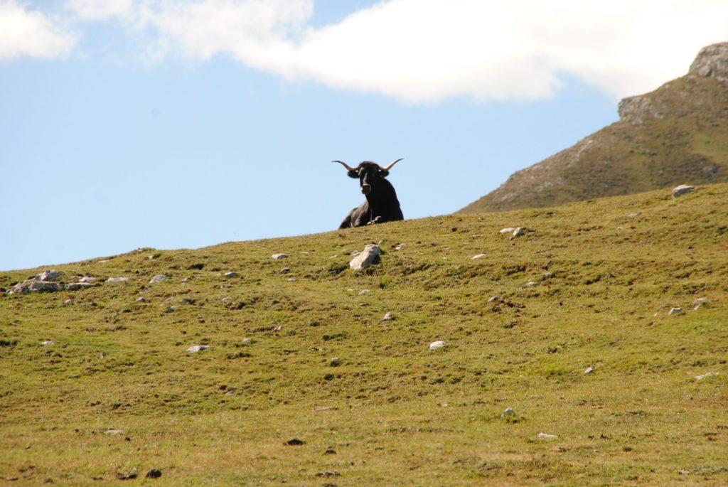 Stiere in Spanien verbinden wir auch mit anderen Bildern. Doch hier sind sie absolut friedlich.
