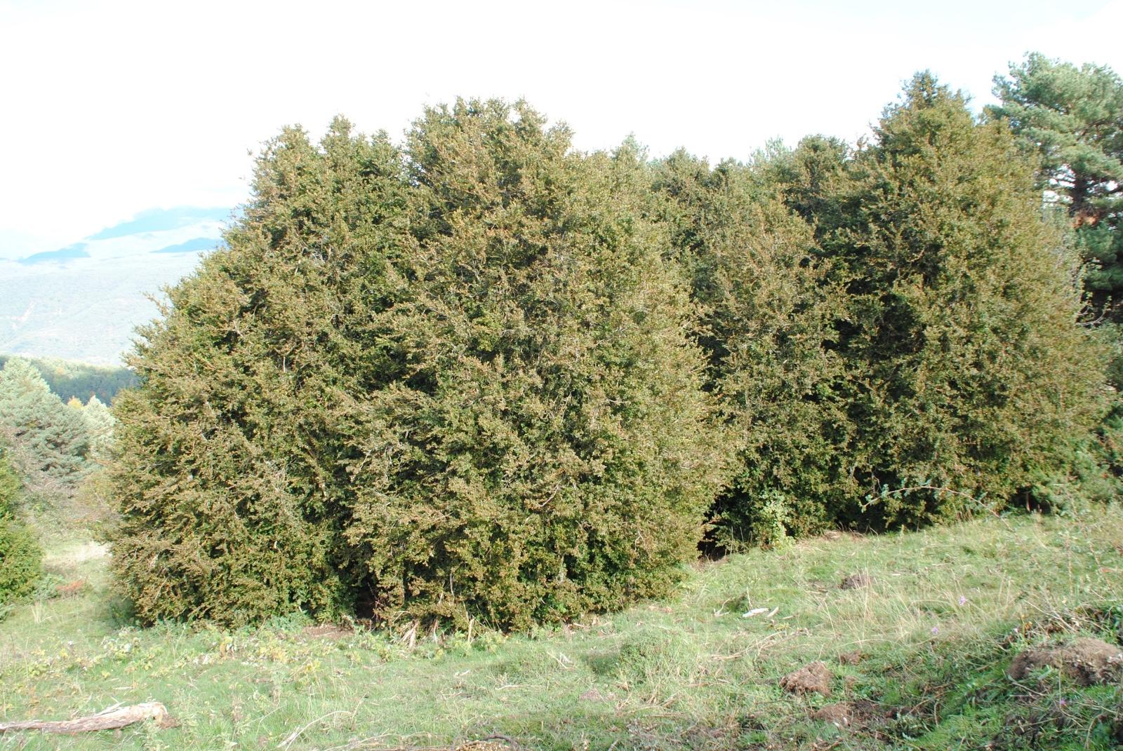 Die über 3m hohen Büsche, die hier oben in großer Anzahl stehen, sind Buchsbäume, die wir eher klein und zierlich aus unseren Vorgärten kennen.