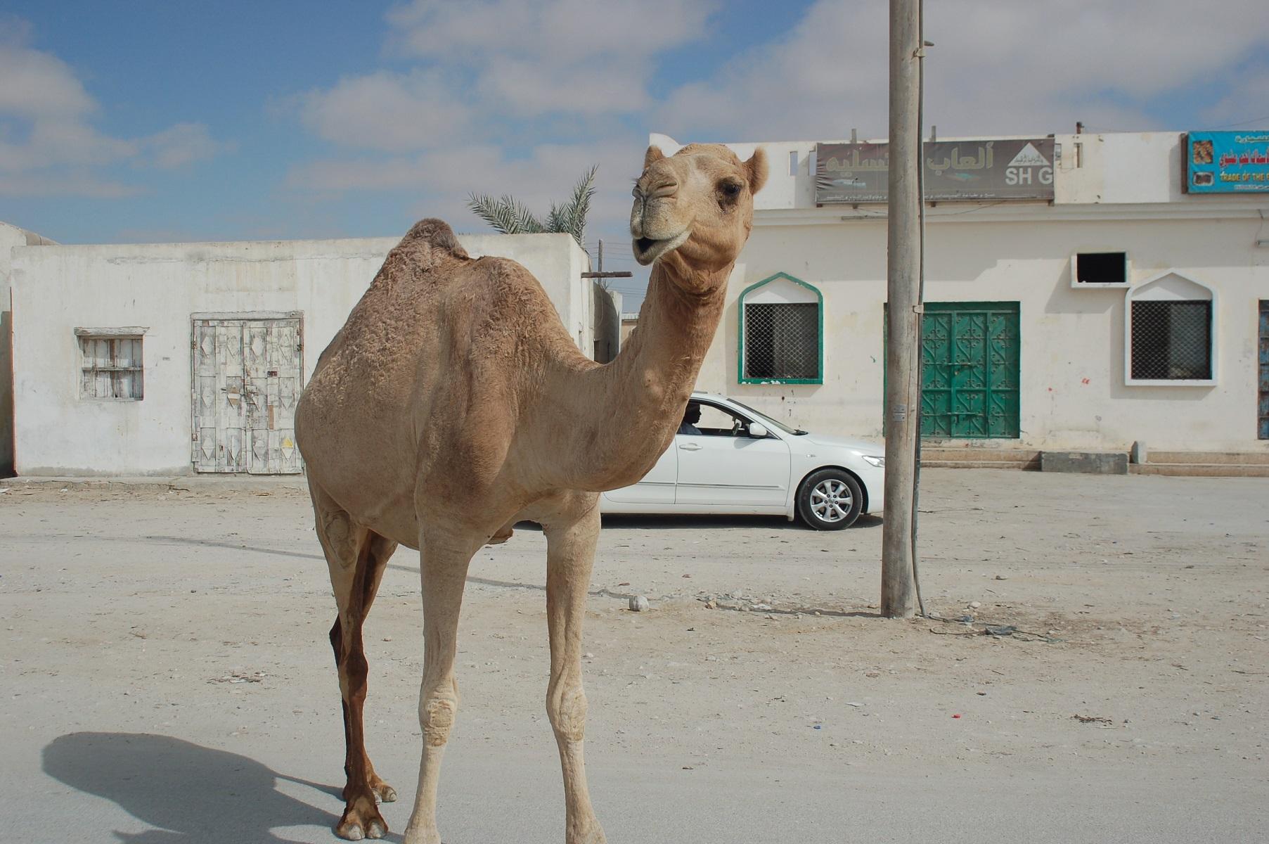 Oman - Im Oman gibt es überall wilde Kamele, die so zutraulich sind, dass sie sogar durch die Orte laufen.