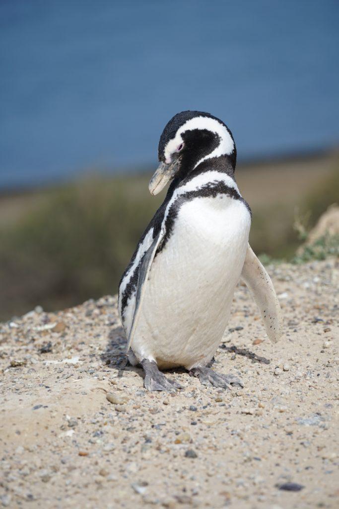 Kleiner Pinguin.