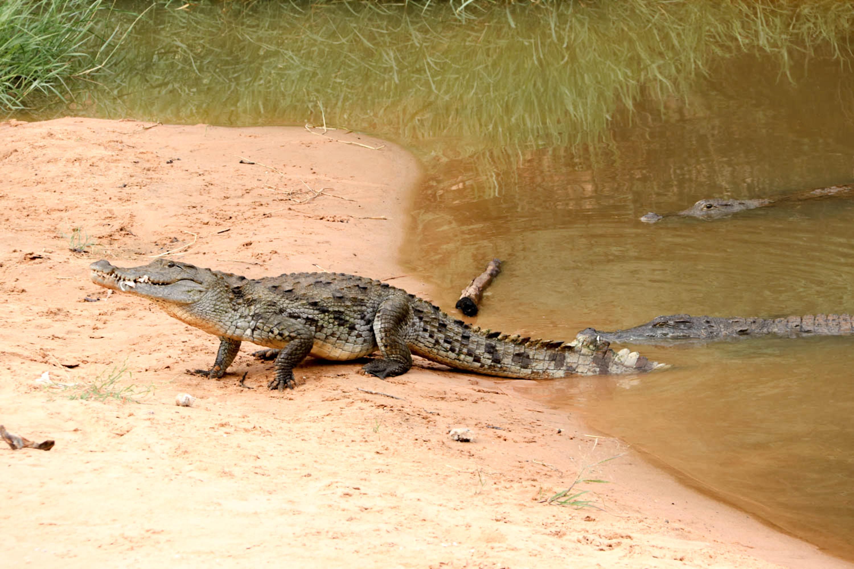 Mauretanien und Mali - Wir haben Glück und können die seltenen Saharakrokodile beobachten.