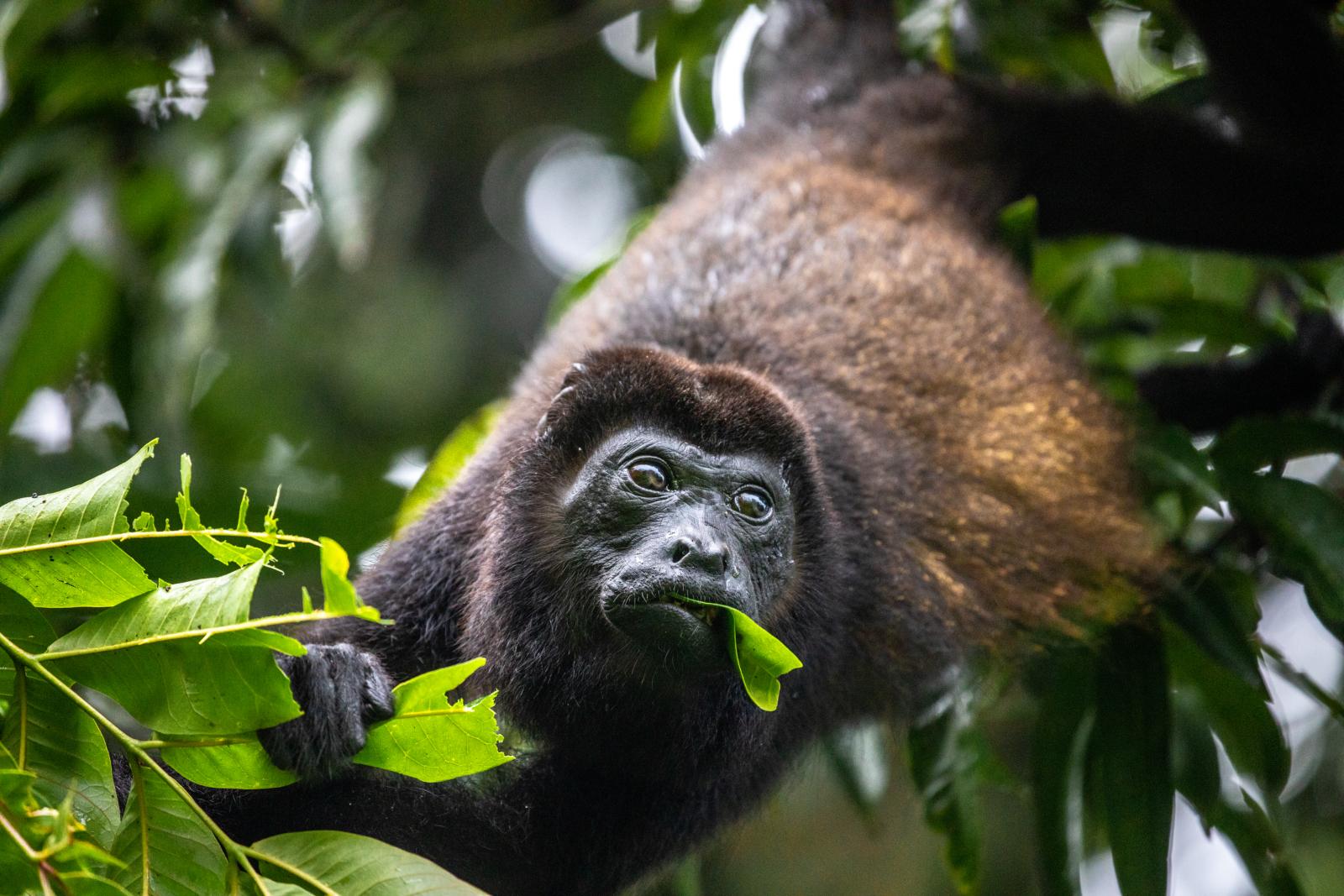 Costa Rica - Ein ausgewachsener Brüllaffe beim Blättersnack.