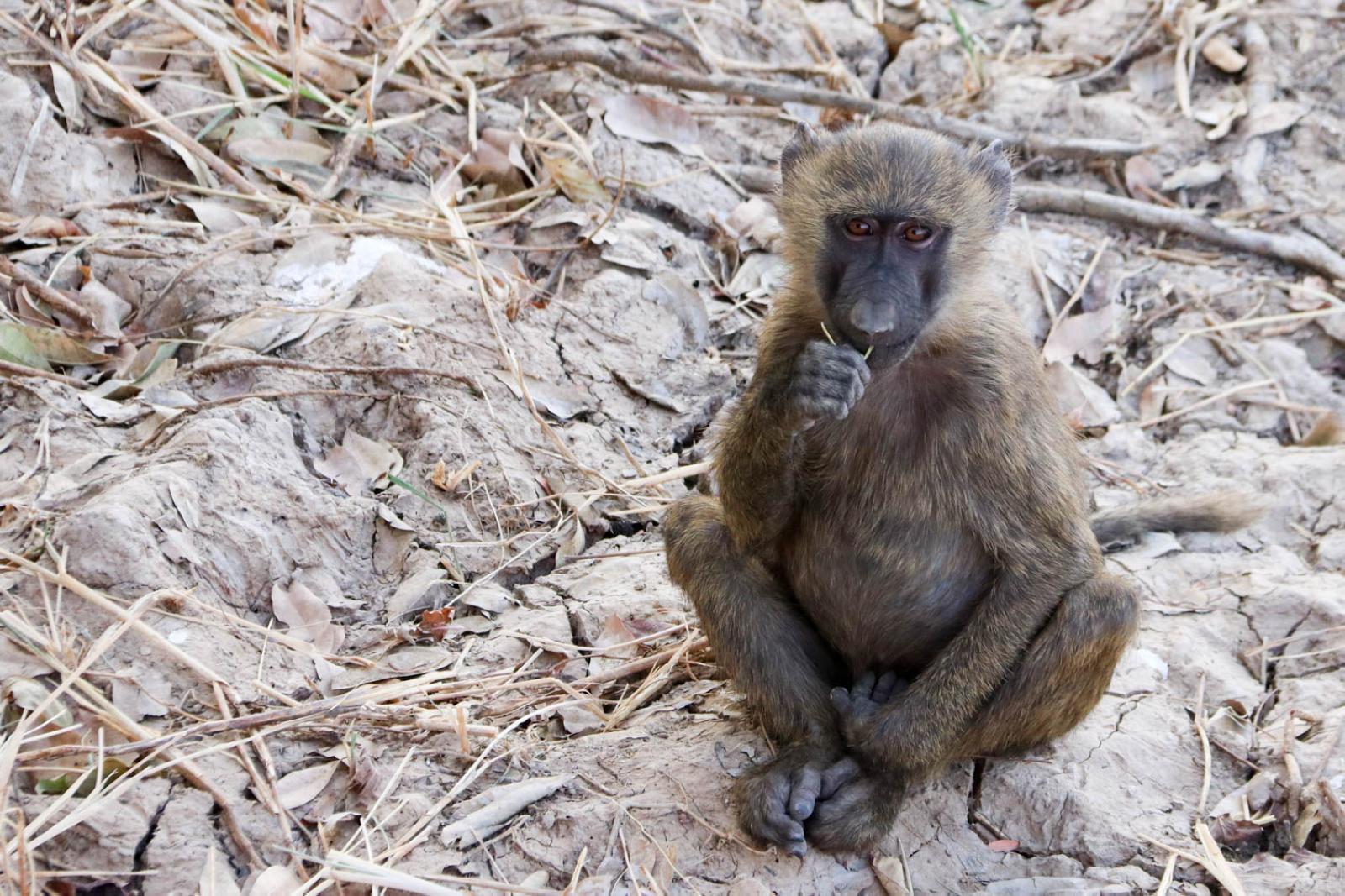 Niedliches Affenkind im Pendjari Nationalpark.