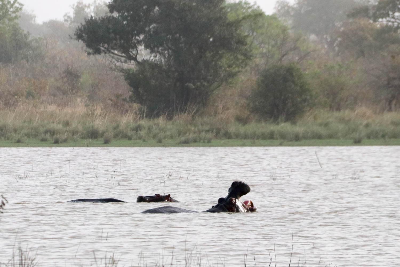 Flusspferde beim Planschen im Stausee bei Mango.