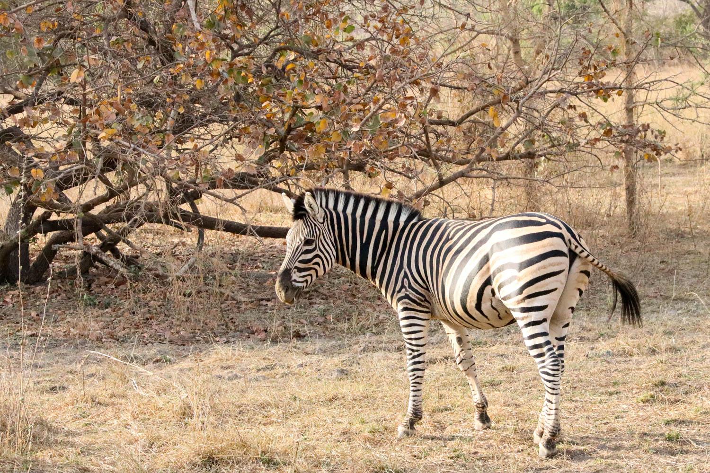 Zebras leben eigentlich nicht in Westafrika. Im Sarakawa-Park kann man diese trotzdem bestaunen.
