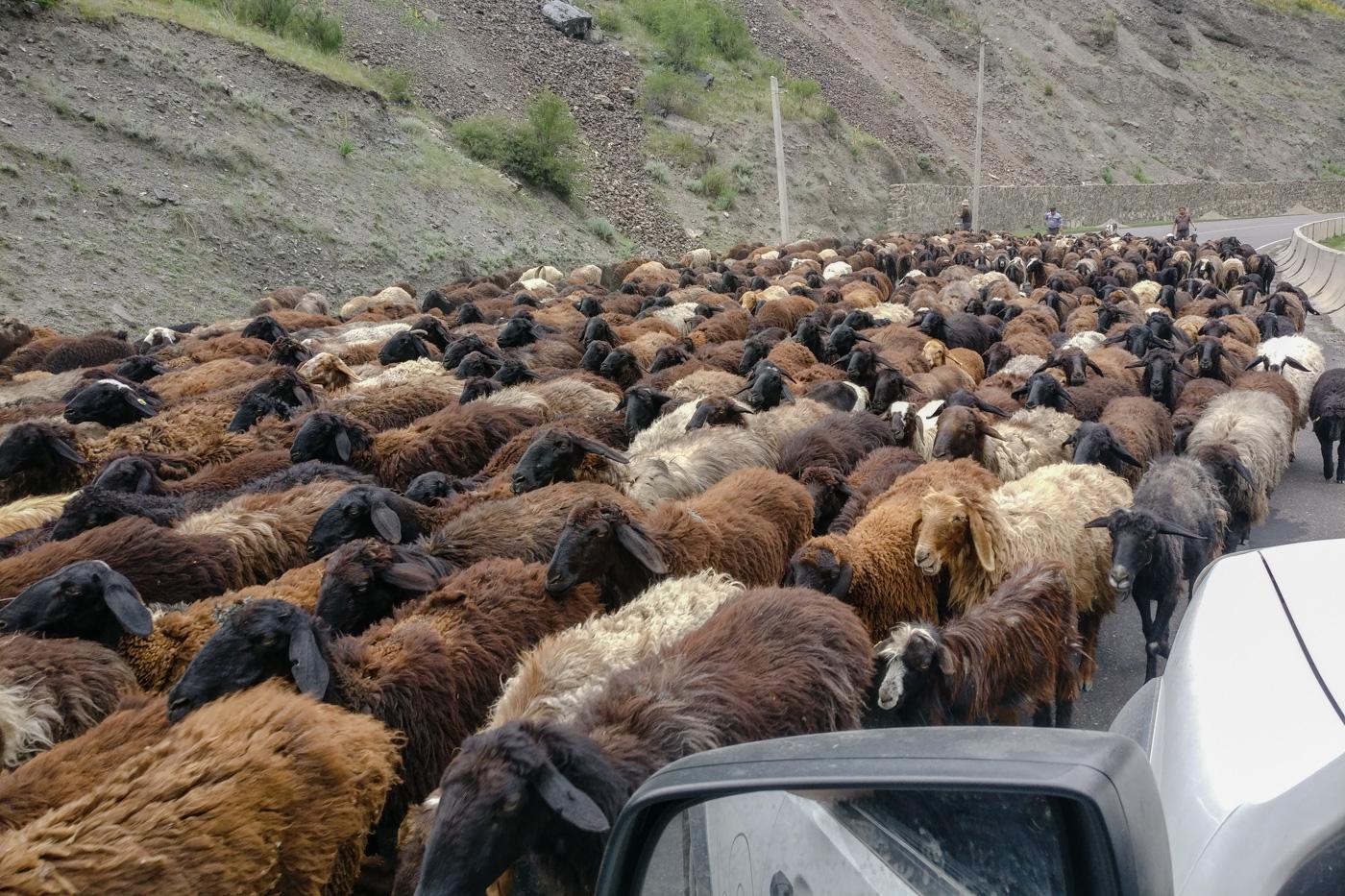 Schafherden bremsen unsere freie Fahrt auf gutem Asphalt.