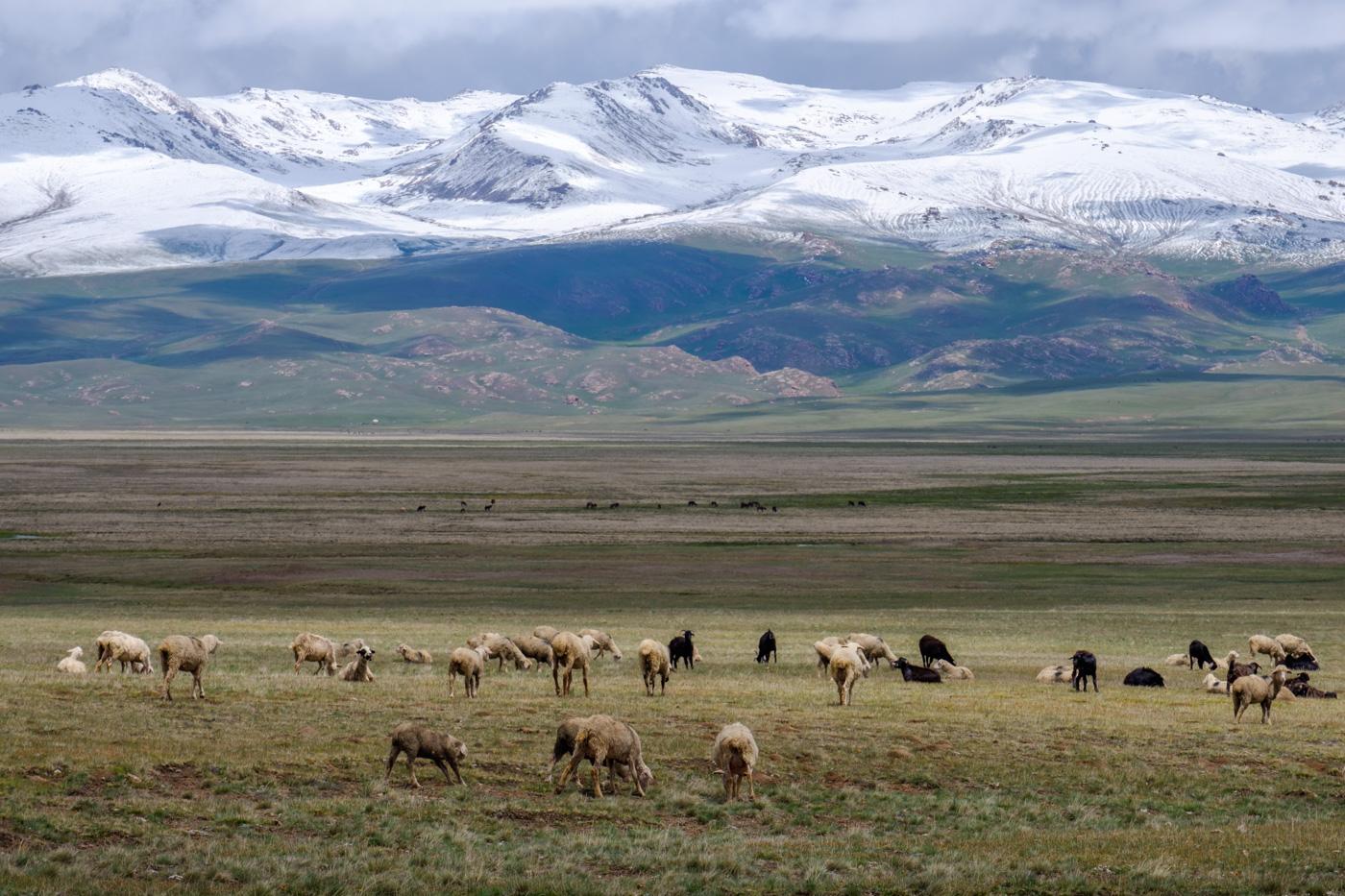 Die Landschaft ist geprägt von Viehherden…
